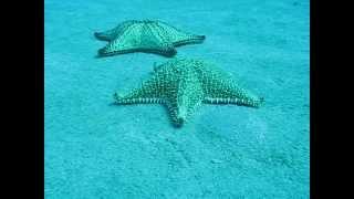 Starfish 1  /  Scuba-diving  Sosua Dominican Republic 2012