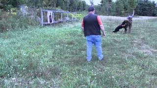 Tactical Training. German Shepherd Under Gunfire
