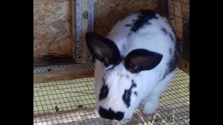 """Кролики """"бабочка""""  (не строкач) - хотите поспорить?"""