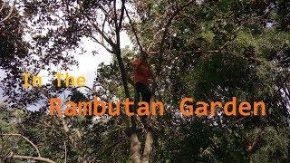 Vietnam Travel - In The Rambutan Garden, Chon Thanh, Binh Phuoc, Vietnam