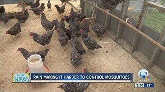 Chickens set for mosquito control duty
