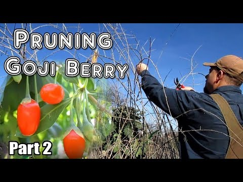 How To Prune Goji Berry Plants For Maximum Berry Production Part