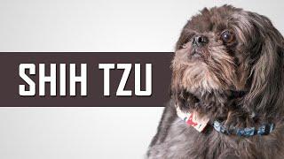 Shih Tzu | Complete Dog Breed Guide | Petmoo #ShihTzuDogBreed