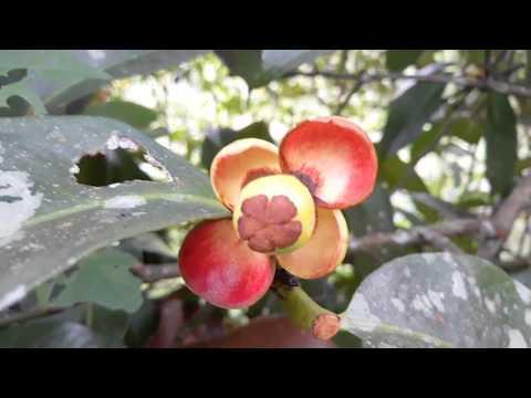 Buah Manggis Paling LEBAT Sepanjang Sejarah Manggis di INDONESIA,,,