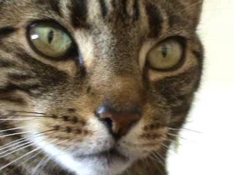 Close-up Tabby Cat Purring