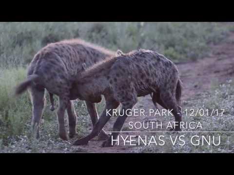 HYENAS VS GNU