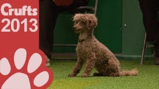 Agility - Jumping - Small Dogs Winner Crufts 2013
