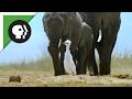 'Spy Egret' Survives the Herd