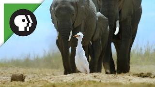'Spy Egret' Survives the Herd thumbnail