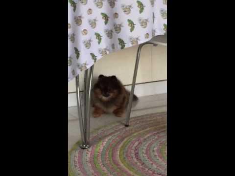 щенок померанский шпиц смотреть онлайн видео от jeepy в