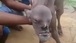 Human goat' with man's face: Mutant animal terrifies whole village