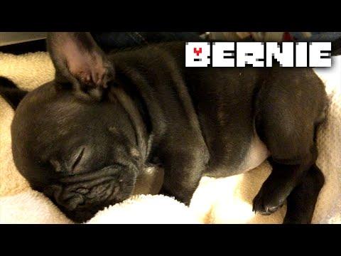 Meet Bernie, the French Bulldog Puppy
