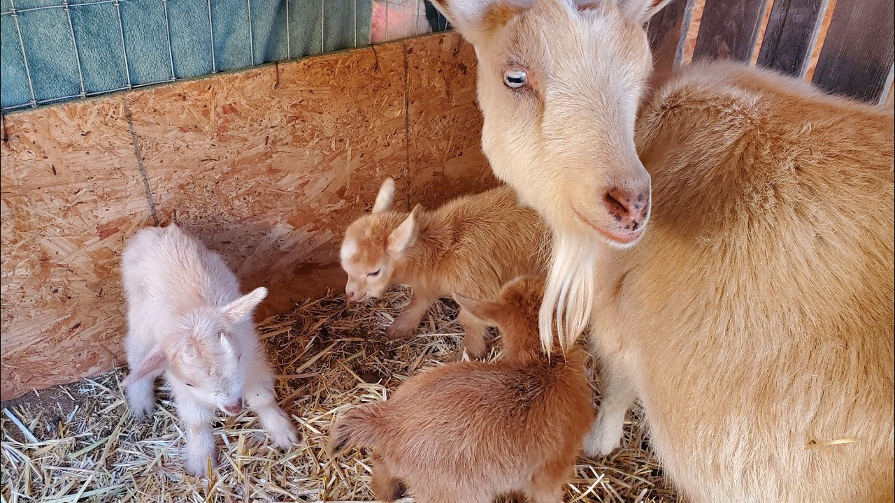 Our 8th Nigerian Dwarf Goat Had Triplets, 12 More To Go!