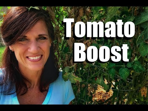 Tomato Revival After a Heat Wave - Three Steps to Give Tomatoes an End-of-the-Season Boost