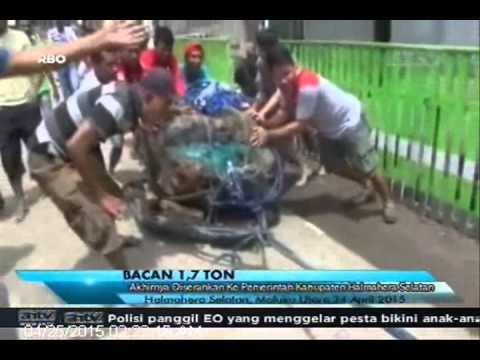 [ANTV] TOPIK Batu Bacan Seberat 1,7 Ton  Akhirnya Diserahkan Ke Pemerintah Kabupaten Halmahera