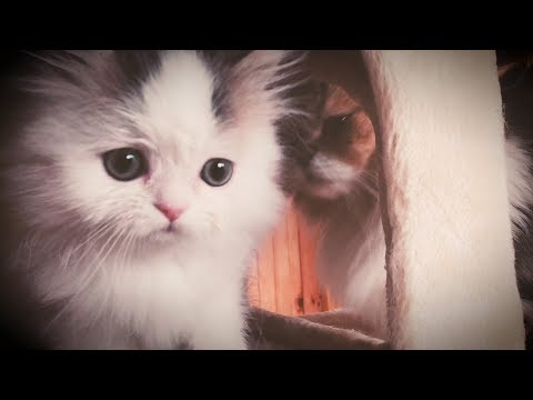 MILO and OTIS - Cute Cats Playing and Fighting!
