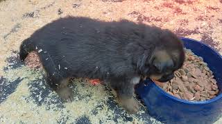 How to wean and socialize a puppy. #puppyweaning#puppysocializing