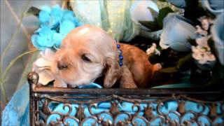 Cocker Spaniel Puppies For Sale **www.maryscockerhaven.com**