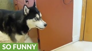 Vocal husky howls in protest for bath time
