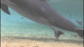 ปลาโลมา ออกลูก Incredible Dolphin Birth at Dolphin Quest Hawaii