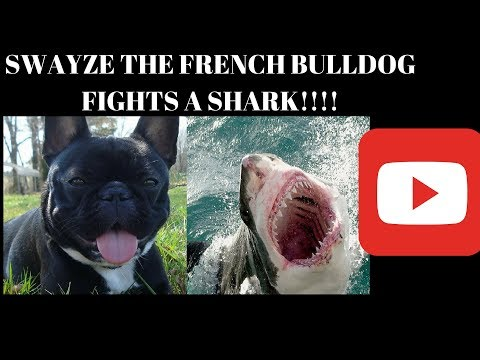 Swayze The French Bulldog VS. The Shark