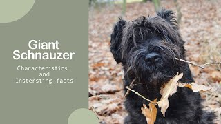 The Giant Schnauzer 101  Characteristics and more information  Top Dog Facts