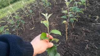 видео Уход за молодыми яблонями