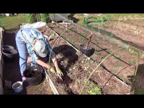 Как правильно посадить гладиолусы?