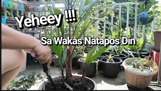 How To Propagate Red Palm By Lola Malyn