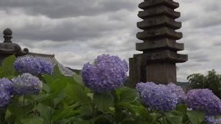 奈良市 般若寺 秋のコスモス寺で有名だが、夏もコスモスが咲く。 境内に...