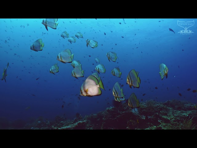 Take a Minute XVIII : Round Batfish (Platax orbicularis)
