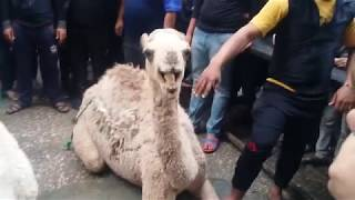 White Camel Qurbani 2017
