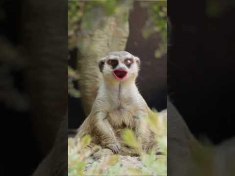 Meerkat George