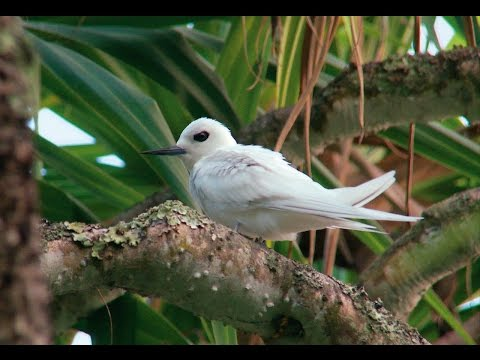 Pitcairn Islands – Henderson Island's wildlife