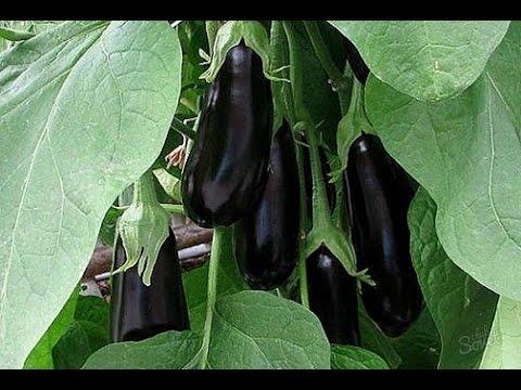 Как выращивать баклажаны в теплице   пасынкование   выращивание   выращивать   баклажанов   баклажанах   сининькие   баклажаны   теплицах   рассады   сажать