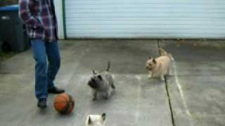 Crusa Foster Cairn Terriers-pedro (brindle) & Riley (wheaten)