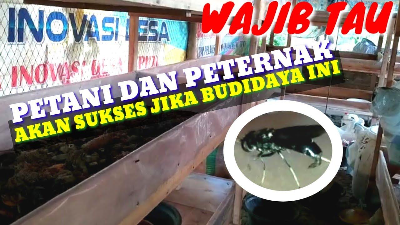 7 Alasan Kenapa Wajib Budidaya Lalat Maggot BSF