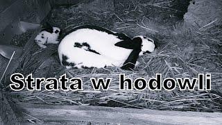 Straty w hodowli królików