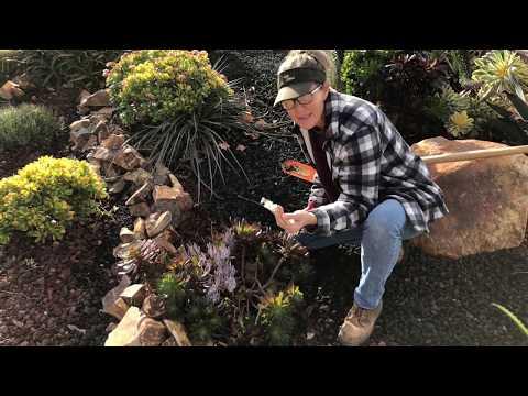 Thousand Oaks Maintenance Hesperaloe Tip