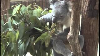 王子動物園のコアラがエサを食べてる動画です。