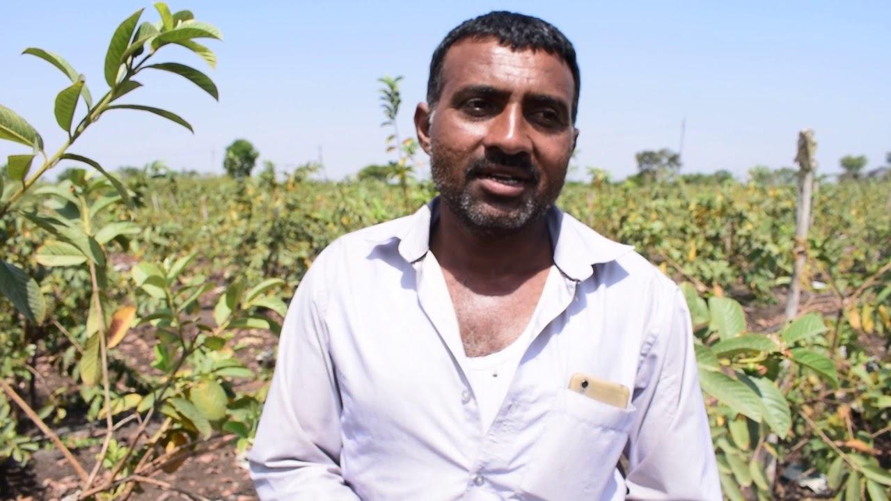 VNR Bihi - Guava Success Story MP - Ratlam by Ashish Sajwan