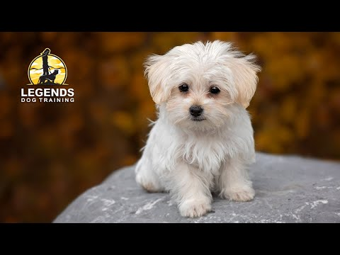Maltese Puppy: Crate Training