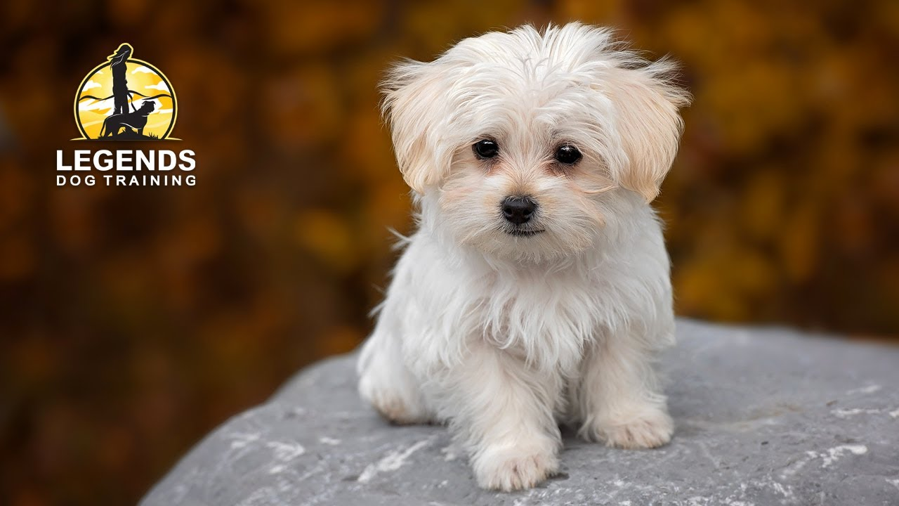 free maltese puppies maltese puppy crate training youtube 9279