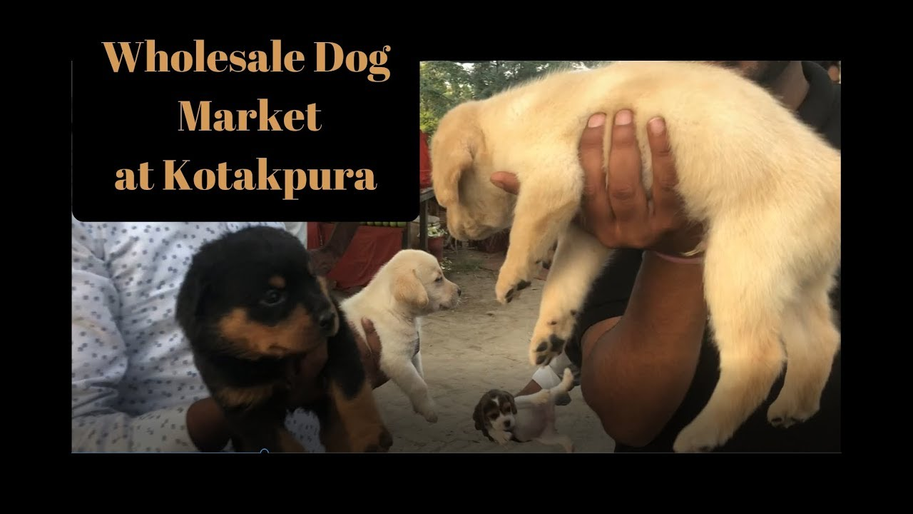 Kotakpura Dog Show 2018 Wholesale Puppy Dog Open Market