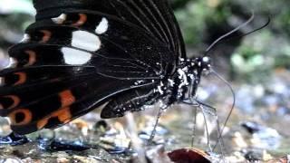 頻尿なモンキアゲハ