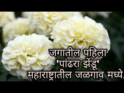 vanilla white marigold flower marathi vlog mightylinksfo