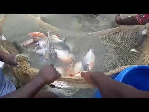 Tamil nadu fish culture