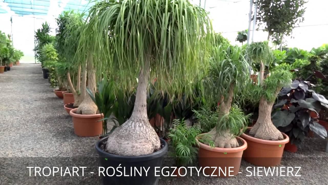 Tropiart Marzec 2016 Siewierz Rośliny Egzotyczne Wewnętrzne