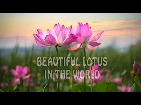The Most Beautiful Lotus In The World Beautiful Lotus Flowers 2019
