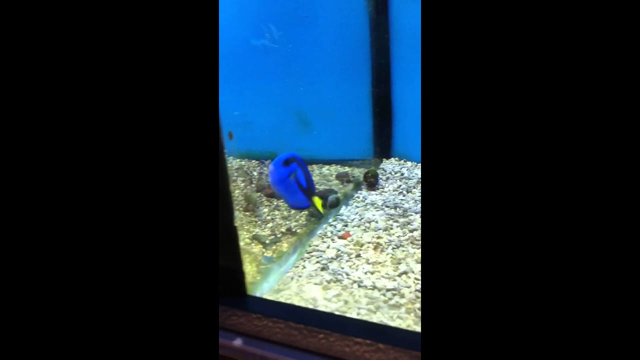 Oh i see a dory fish at petco youtube for How much are fish at petco